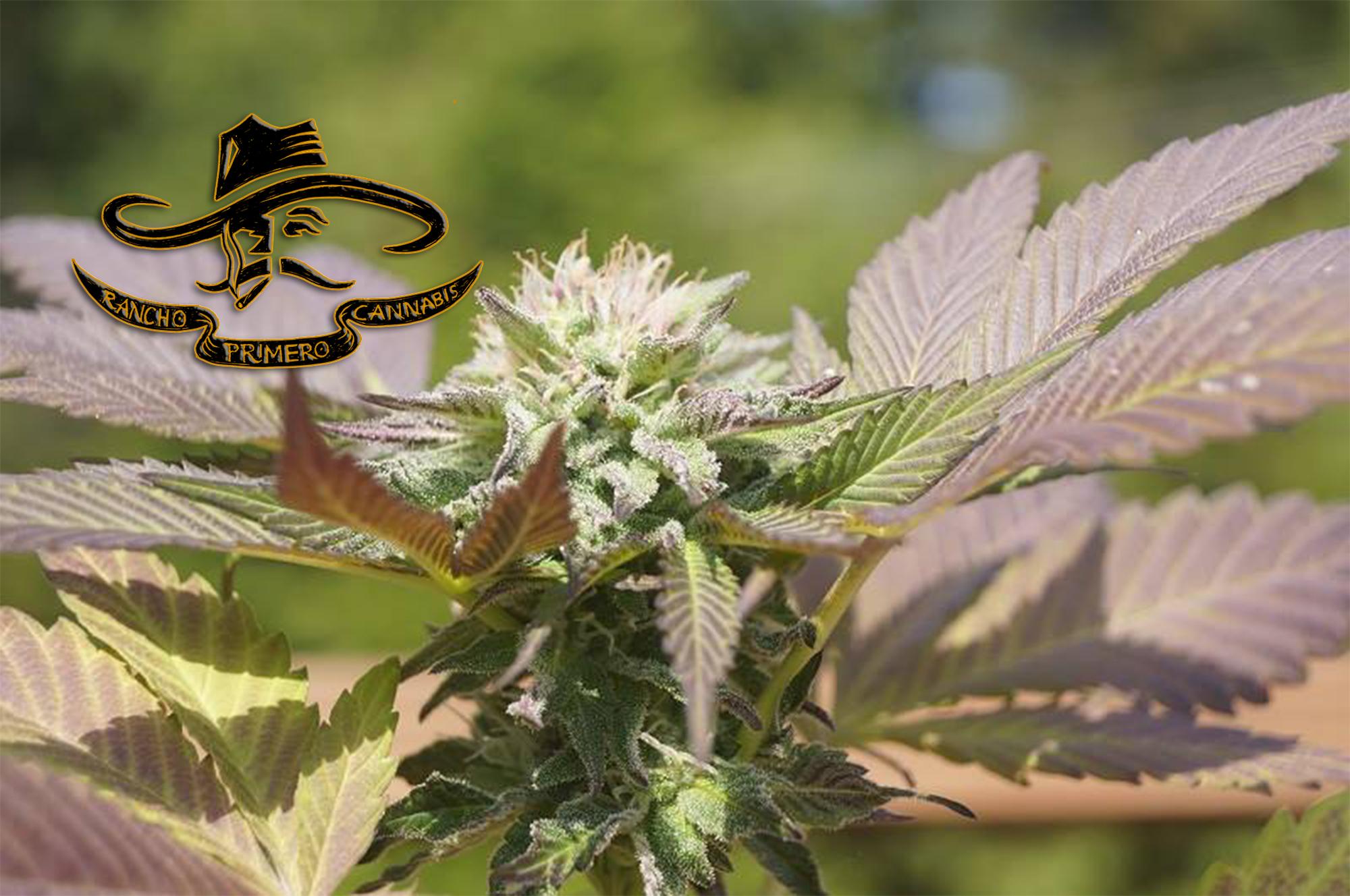 Rancho Primero Fine Cannabis